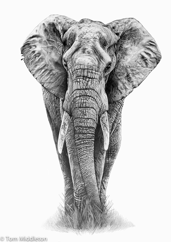 Elephant … | Pinteres… Realistic Elephant Drawing