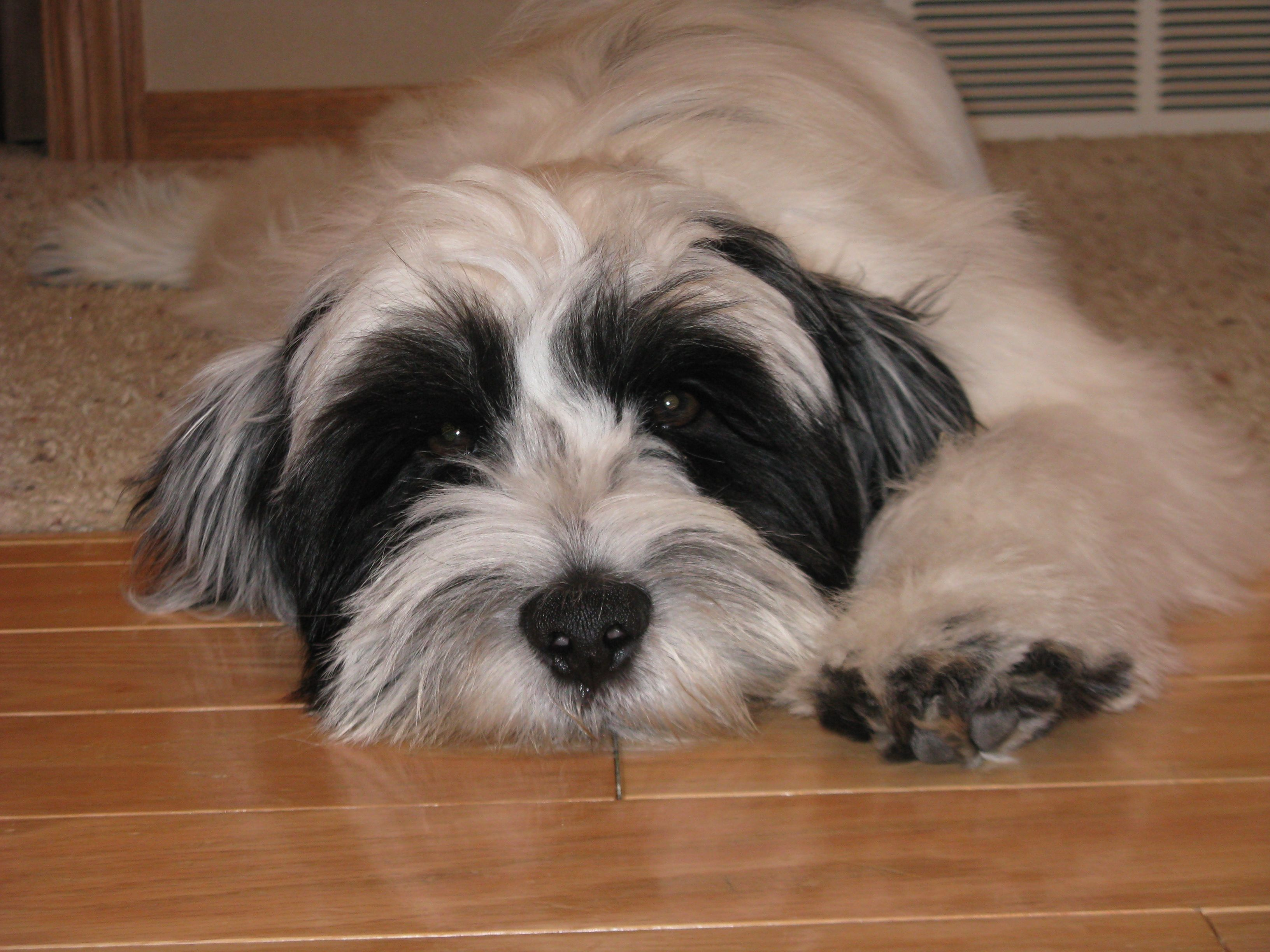 So sleepy Tibetan Terrier puppy My puppy! Tibetan
