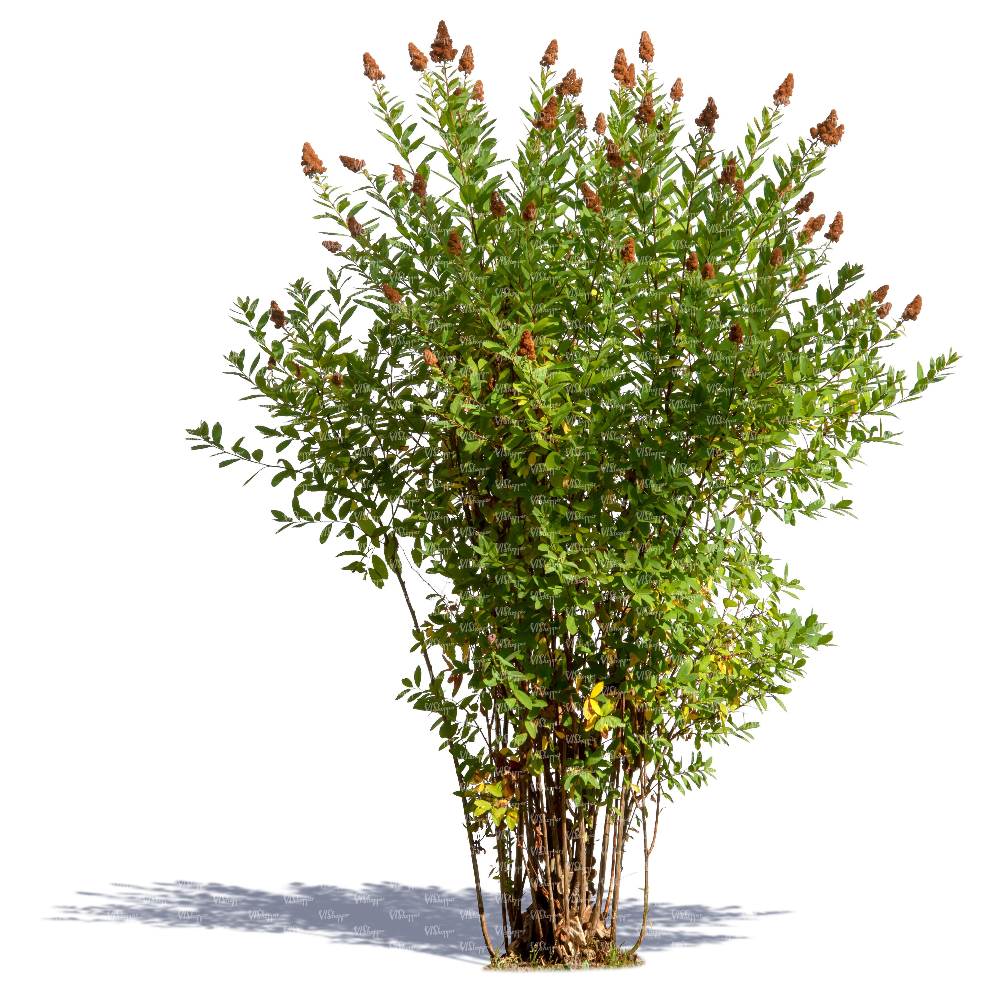 Pin on Large Fragrant Shrubs and Trees