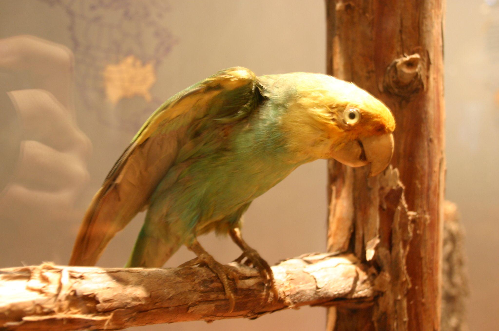 1918 The last Carolina Parakeet dies in captivity at the