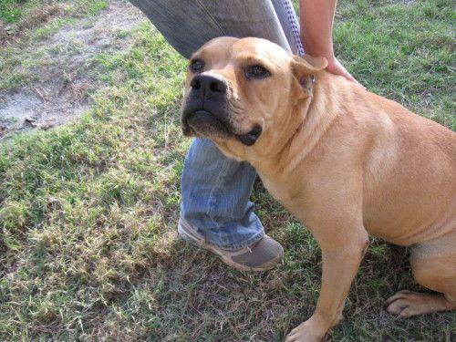 Adopt Brutus Beefcake on Boxer mastiff mix, Animals