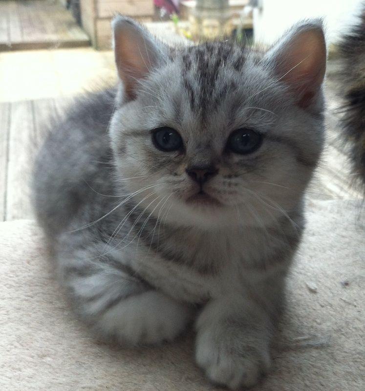British Blue Kittens British Shorthair Silver British Blue