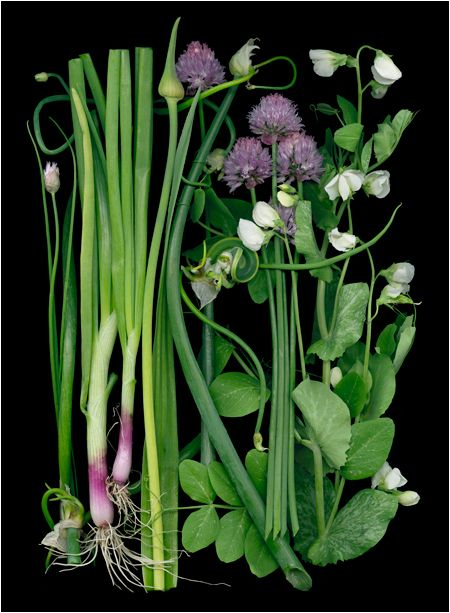 Page 2 Organic Gardening Scans By Ellen Hoverkamp Scanner Photography By Ellen Hoverkamp Fruchte Und Gemuse Botanische Illustration Pflanzen