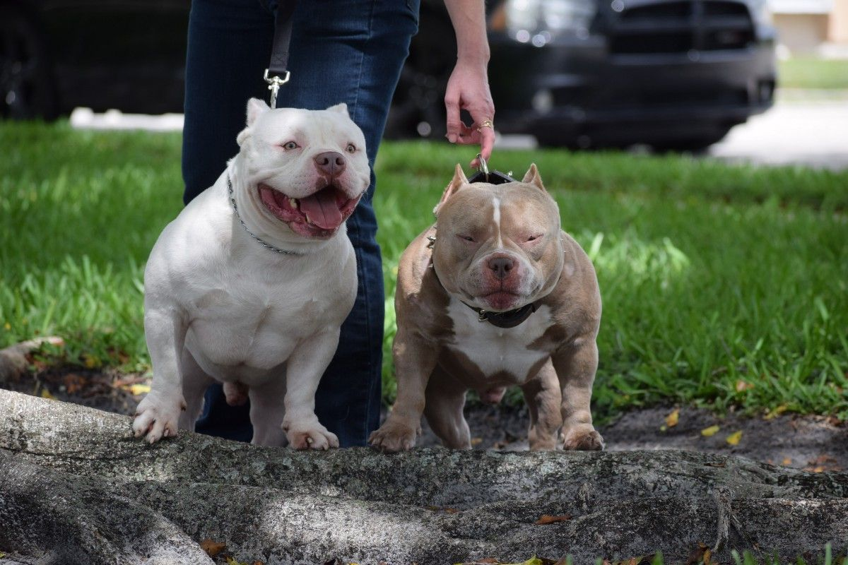 The Best Pocket American Bully Studs 2019 American Bully Pocket