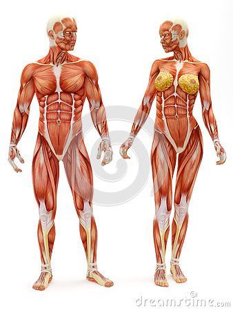 Male And Female Musculoskeletal System Pinterest
