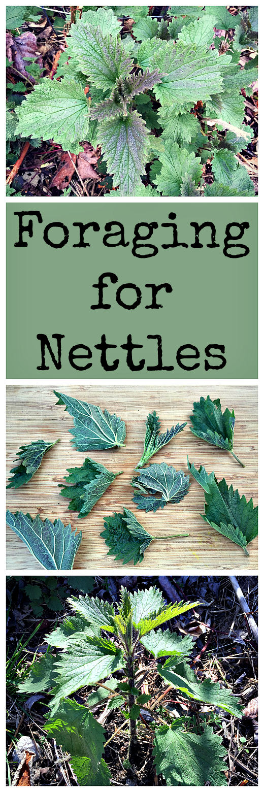 Stinging nettles are great for food and medicine, but need a little care  when harvesting