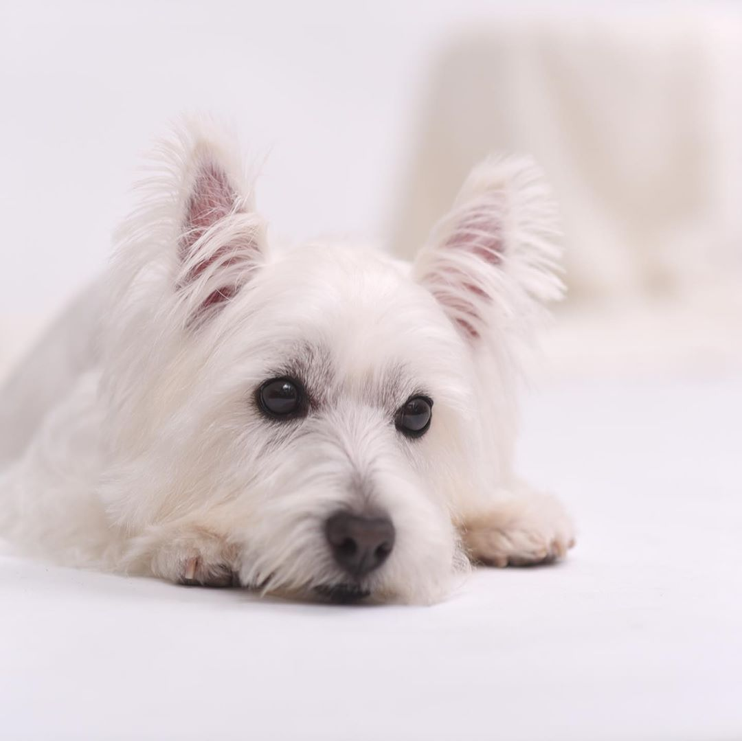 West Highland White Terrier With Images West Highland Terrier Puppy West Highland White Terrier Terrier Dog Breeds