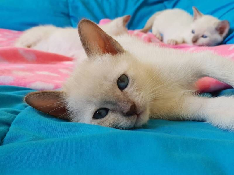 TONKINESE KITTENS READY TO GO Tonkinese kittens, Cats