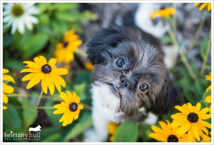 Shih tzu puppies colorado springs