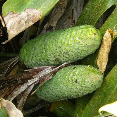 Monstera Deliciosa is a plant native to Central America. The green fruits are…