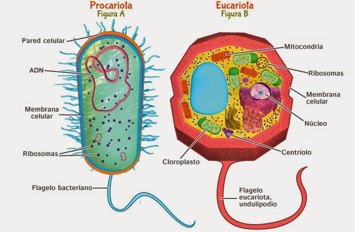 Resultado De Imagen Para Imagenes De La Celula Eucariota Celula Procariota Y Eucariota Procariota Y Eucariota Procariota