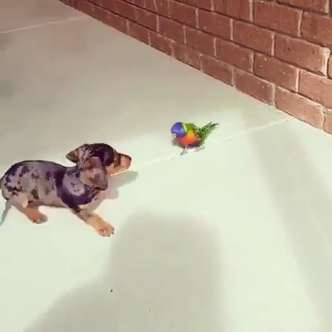 Cute Dachshund Puppy and parrot #cutepuppies