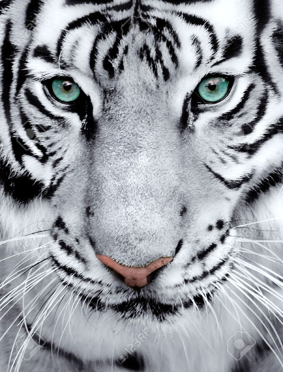 Close Up Of A White Tigers Face Tiger Face Tiger Photography White Tiger