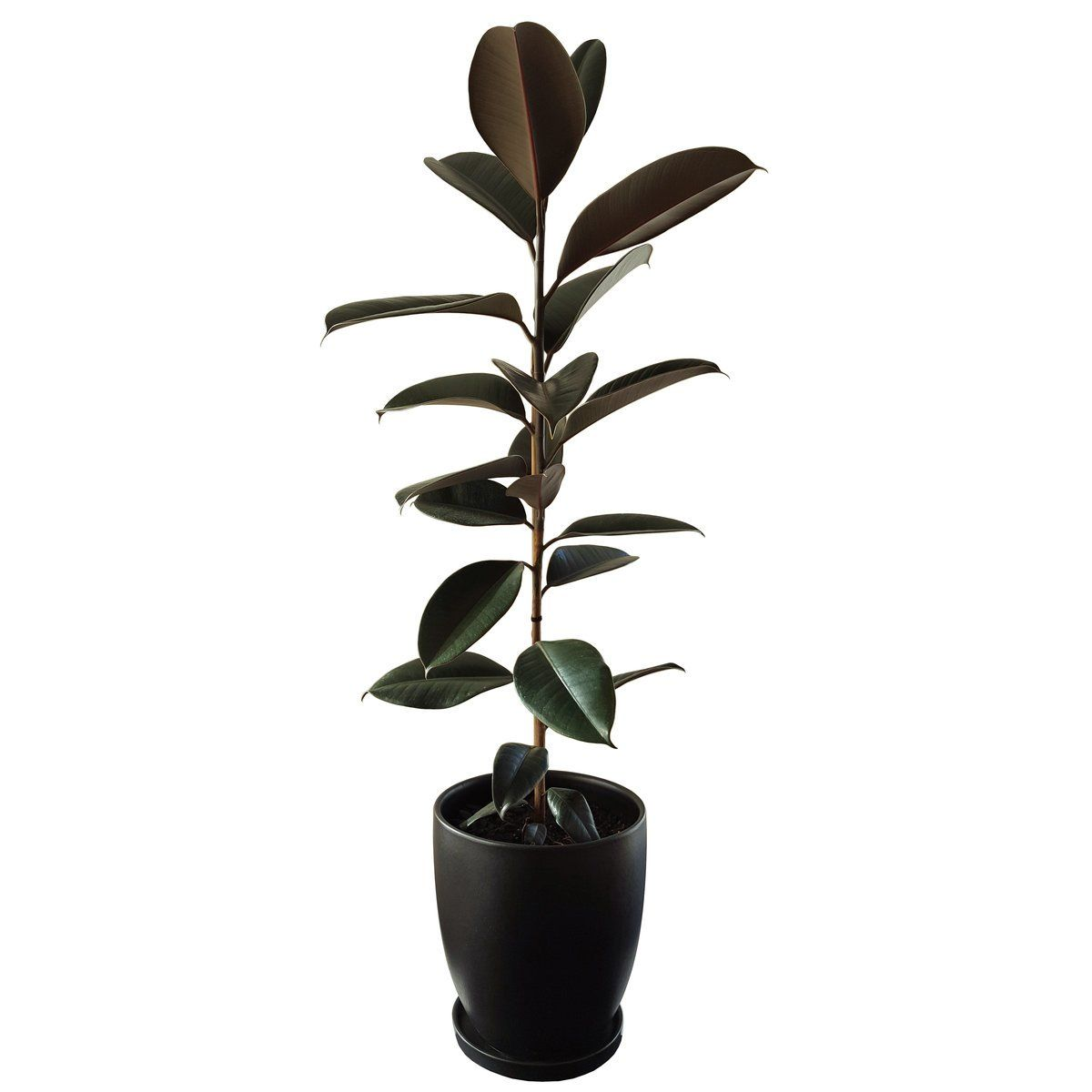 Rubber Tree In Black Ceramic   Plant And Pot NZ