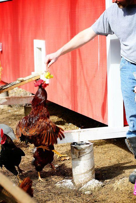 Jumping Chickens Homestead Hacks Pinterest