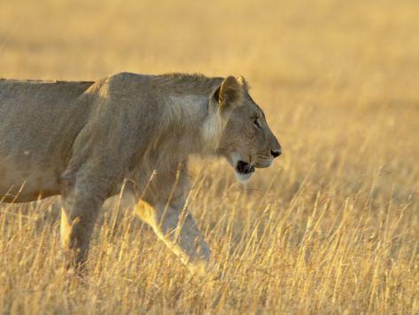 Young Male Lion, Masai Mara National Reserve, Kenya, East Africa, Africa