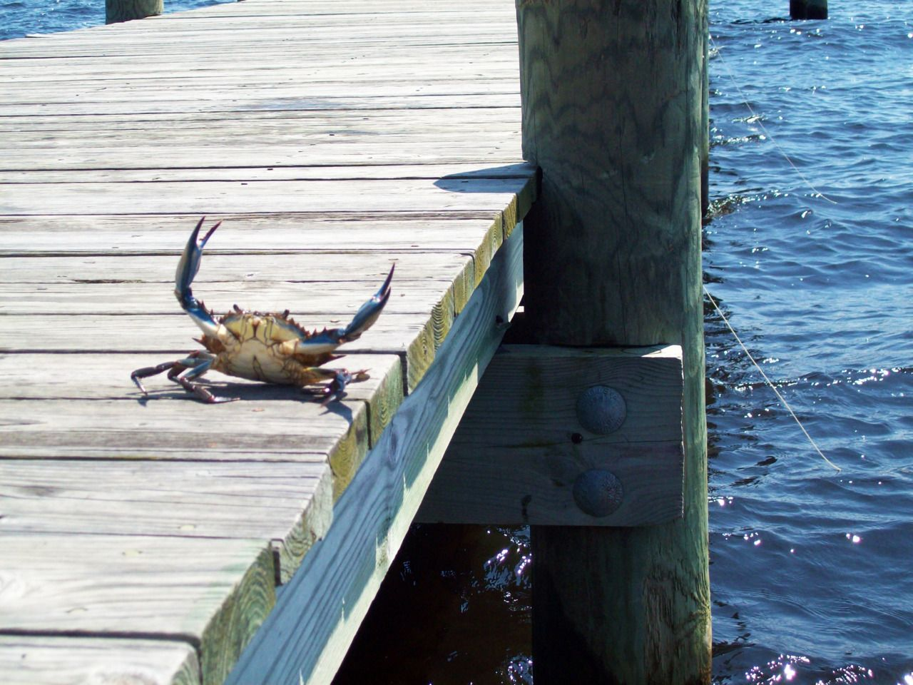 Charleston blue crab