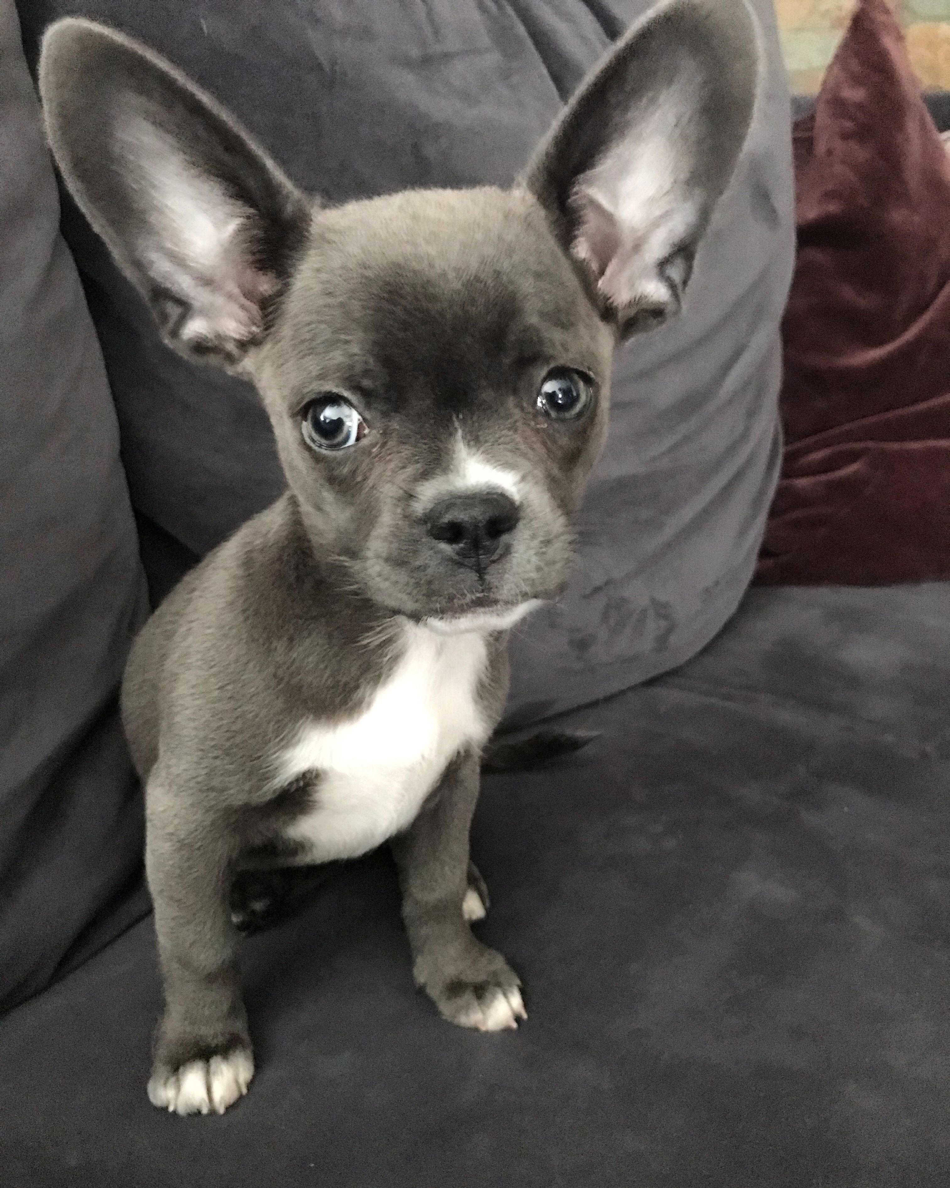 My Little 11 Weeks Blue French Bullhuahua French Bulldog And