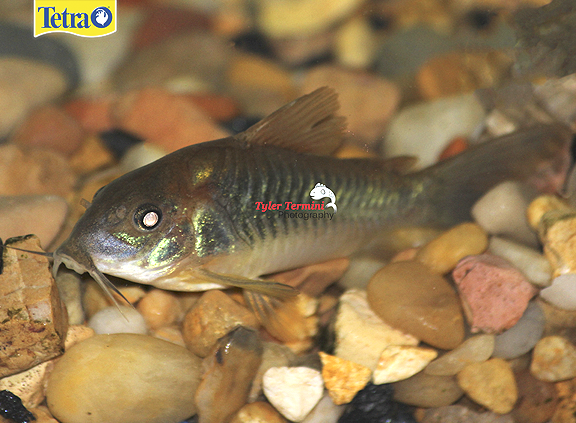 Corydoras Splendens Also Known As The Emerald Green Cory Catfish Are Very Peaceful And Are Recommended For Community Fishing For Beginners Cory Catfish Fish