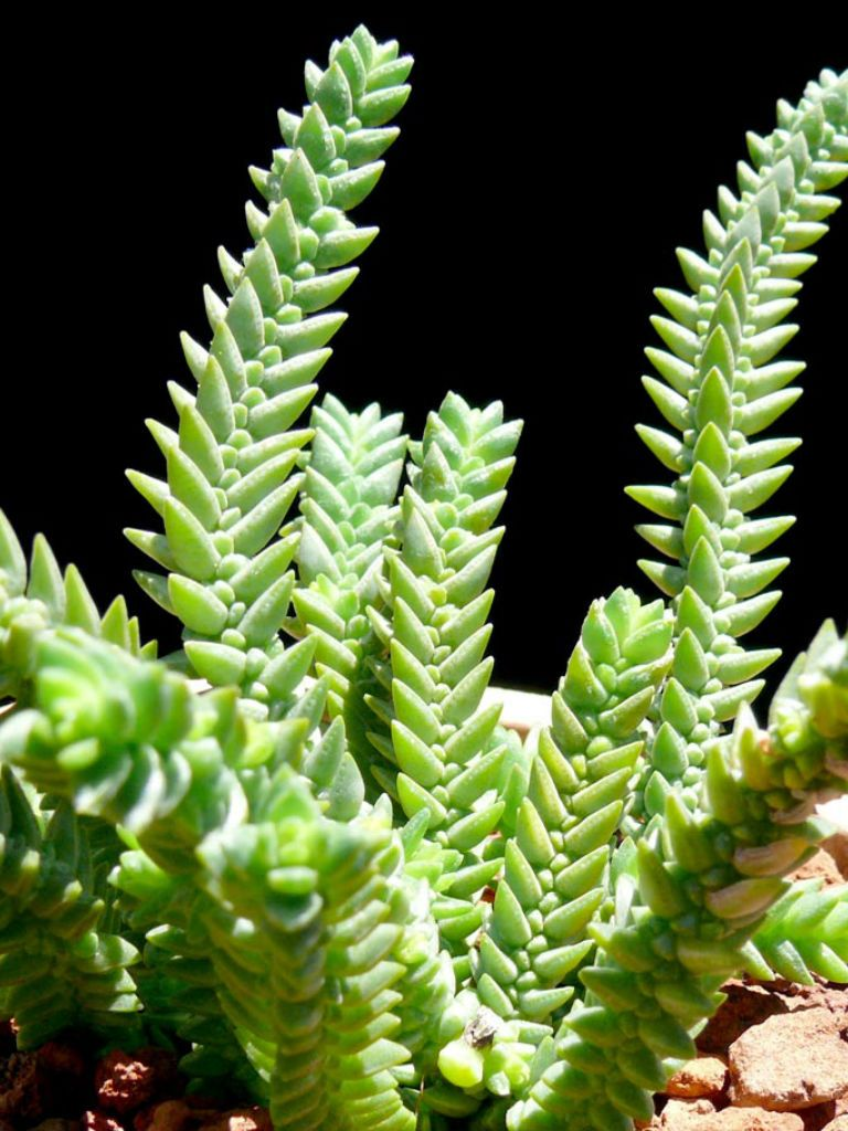 Crassula Imperialis Giant Watch Chain World Of Succulents