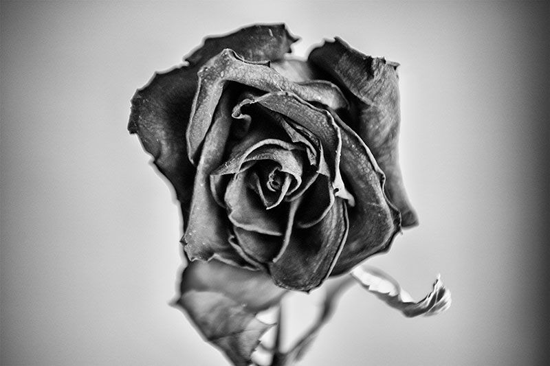 Black and white photographs of aged red roses these aging roses are still beautiful even though theyve become wrinkled and shriveled with age as their