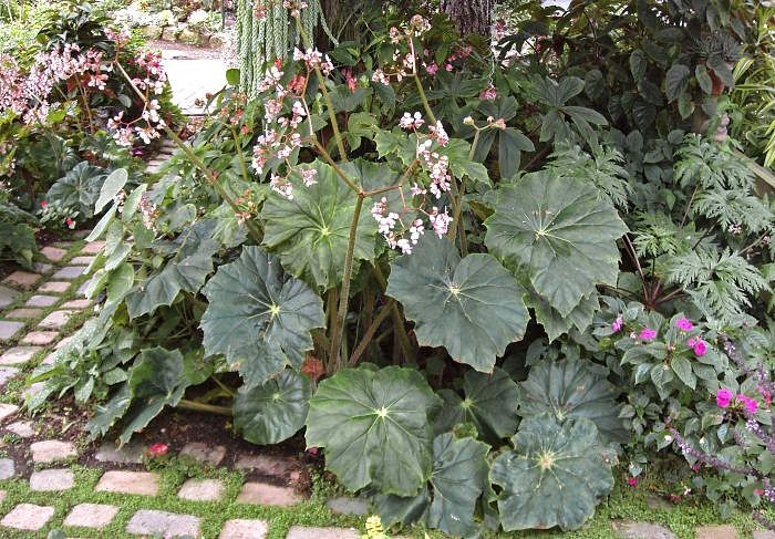 Begonia Lotusland With Huge Lush Leaves And Tall Sprays Of Pink Flowers Lotusland Is A Larger Than Life Begonia That Perfectl Plants Begonia Plant Sale