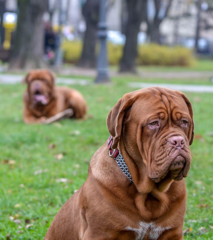 Dika Toza The French Mastiffs Mastiff Dog Breeds Mastiff