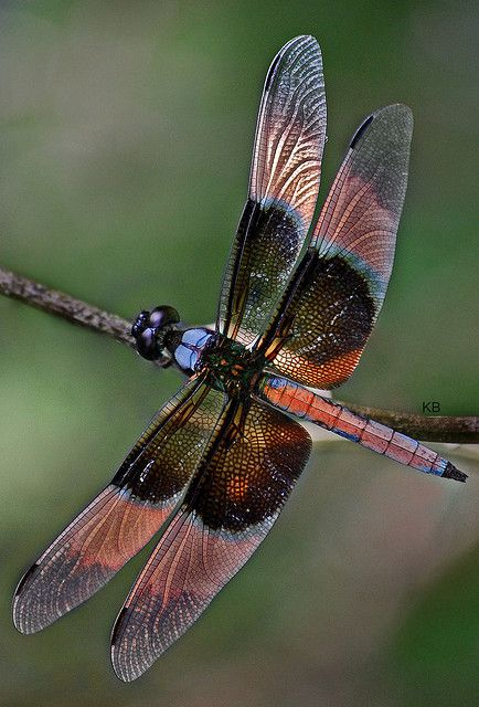 Dragonfly is as beautiful as butterflies, but here's a bonus:  They eat mosquitoes by the thousands!  This beauty has pink on its wings.