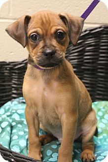 Southington Ct Pug Chihuahua Mix Meet Bruin A Puppy For