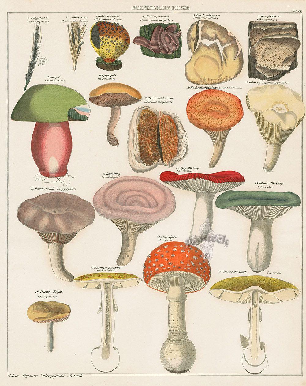Mushrooms from Lorenz Oken Abbildungen Naturgeschichte für alle ...
