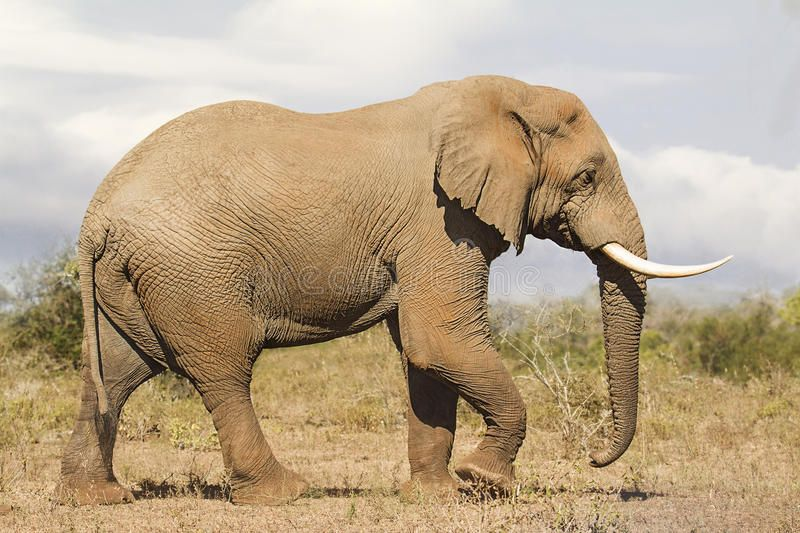 Download Elephant Bull Side View Stock Photo Image Of Fauna