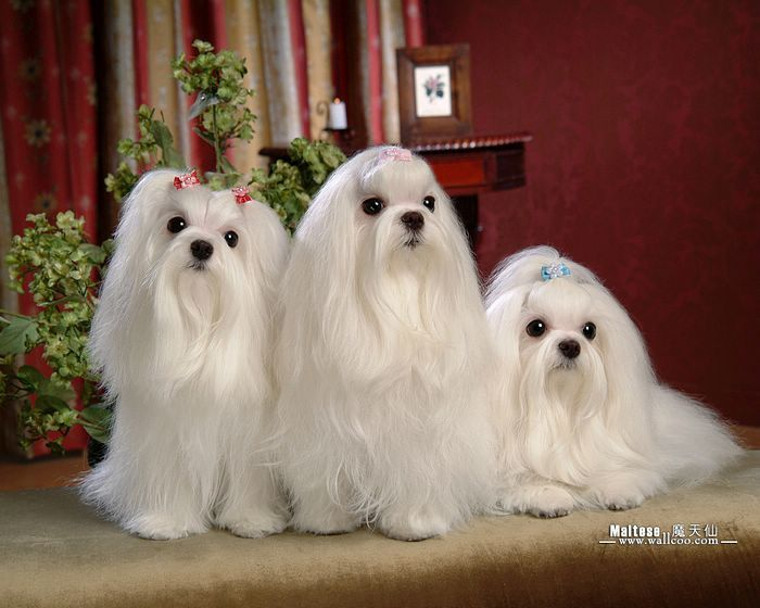 Maltese Puppy Adorable Poster White Curly Fluffy Children Love New