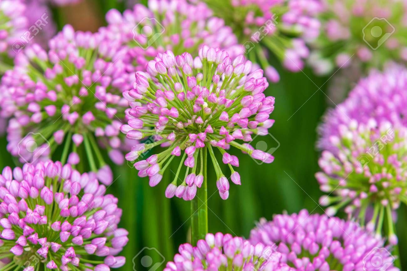 Allium Millenium In Full Flower In 2020 Flowers Allium Stock Photos