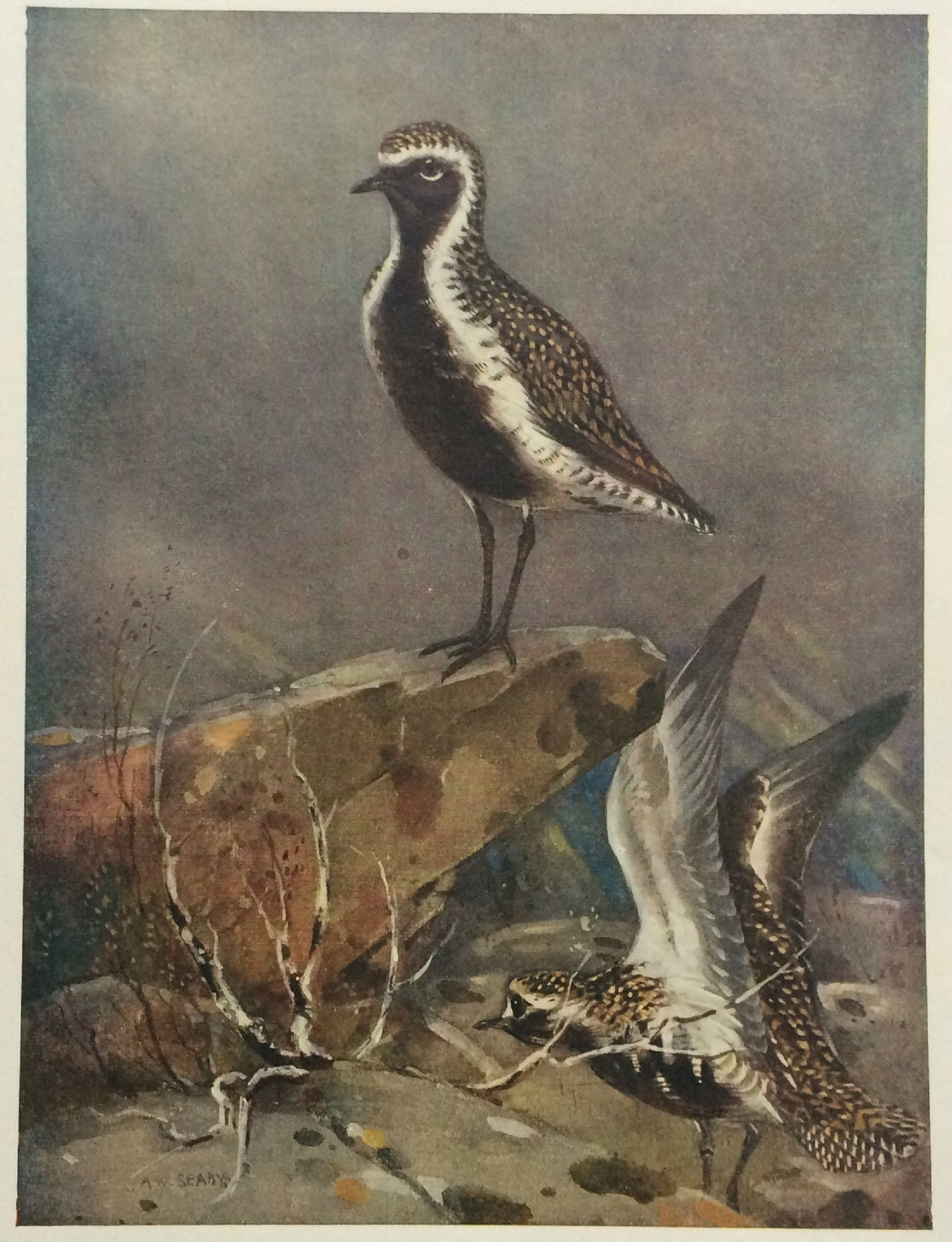 Wildlife Art for Gifts Birds in Art ~ Golden Plover