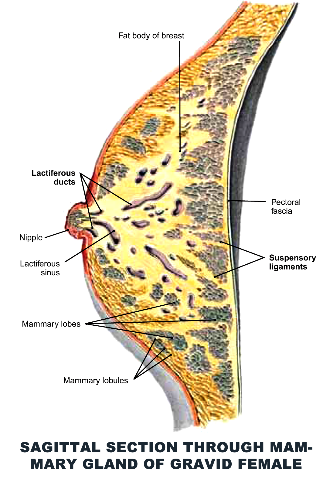 Sagittal Section through Mammary Gland of Gravid Female - #anatomy ...