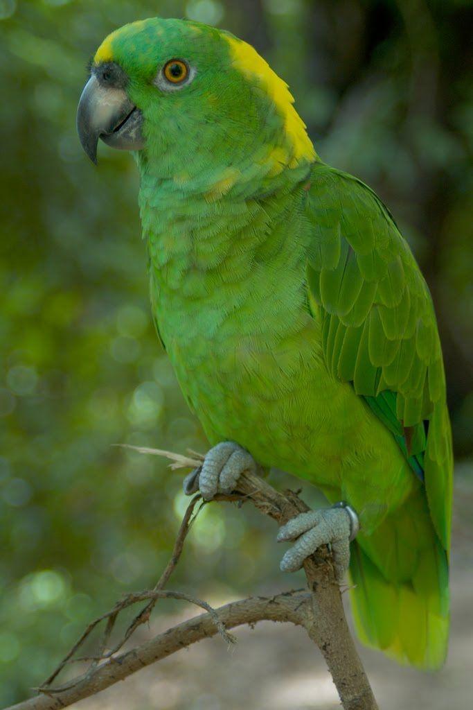 Lora nuca amarilla (Amazona auropalliata)
