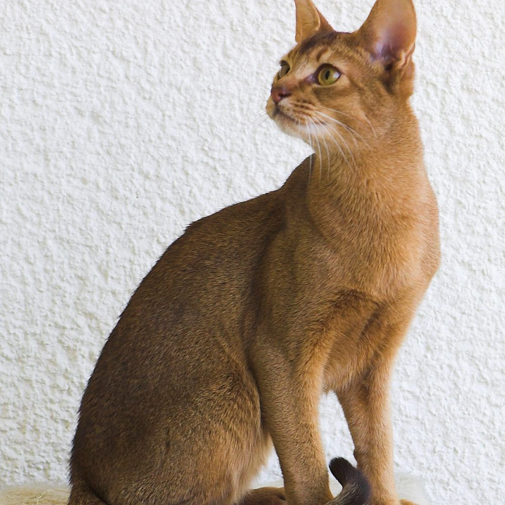 Abyssinian Kittens for Sale & Cats for Adoption | Abyssinian ...