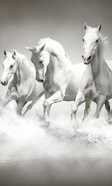 Un Peu De Tout By Miliani Rachid Flickr Horse Wallpaper Horses White Horses