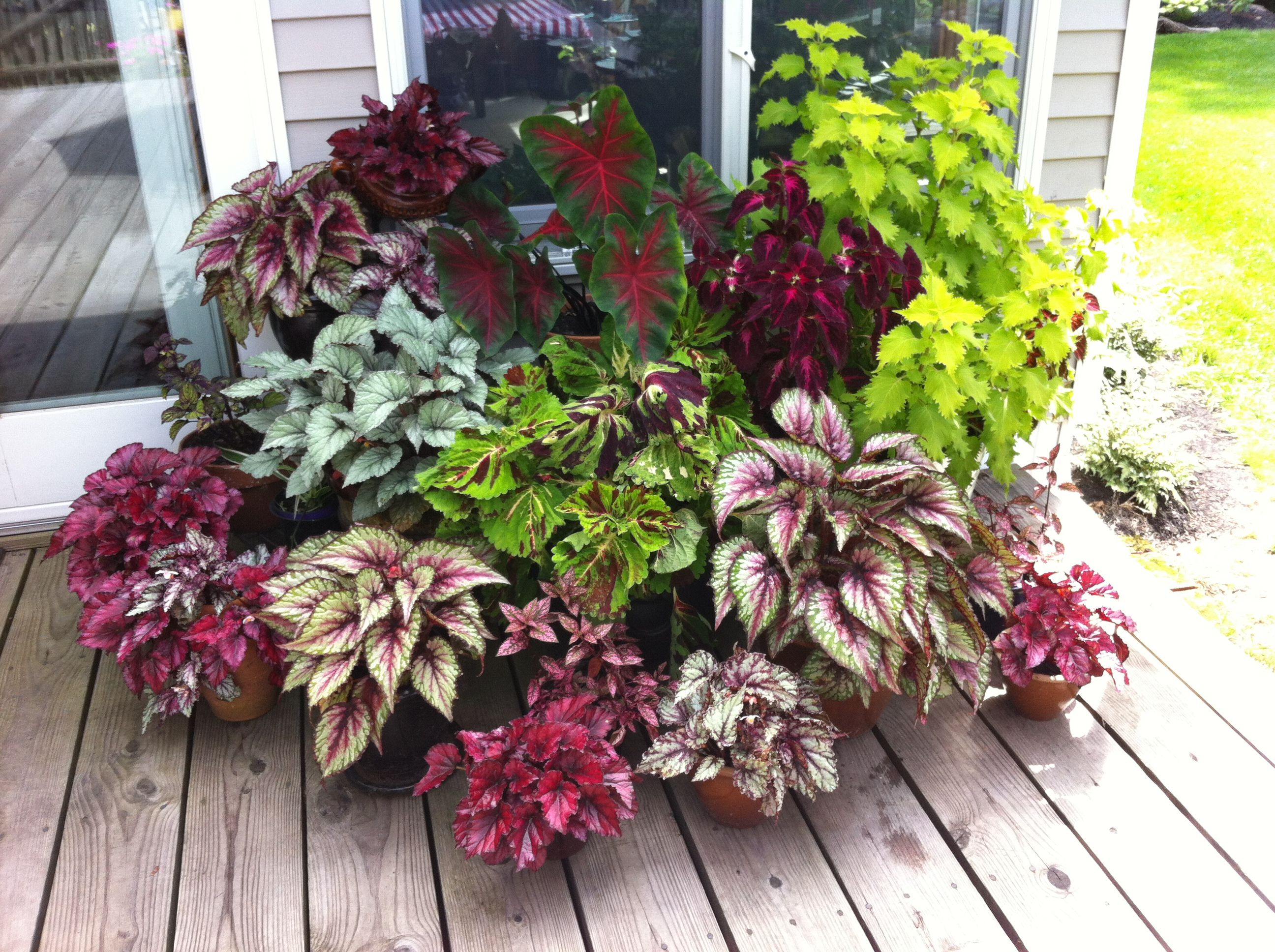 Shade Lovers Coleus Rex Begonia And Caladium Lol This Is What I Do Too Front Yard Landscaping Design Front Yard Landscaping Yard Landscaping