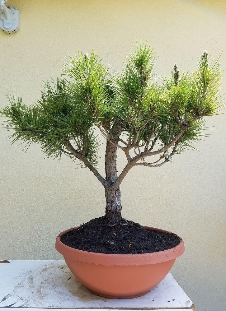 Japanese Black Pine Bonsai Tree Sale Bonsai Tree Black Pine Bonsai Japanese Black Pine