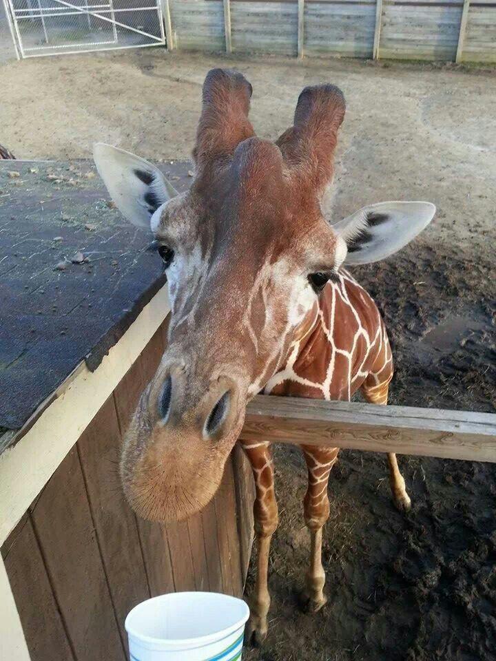 Thomas Cole, Metro Richmond Zoo, RVA, Giraffe Animals