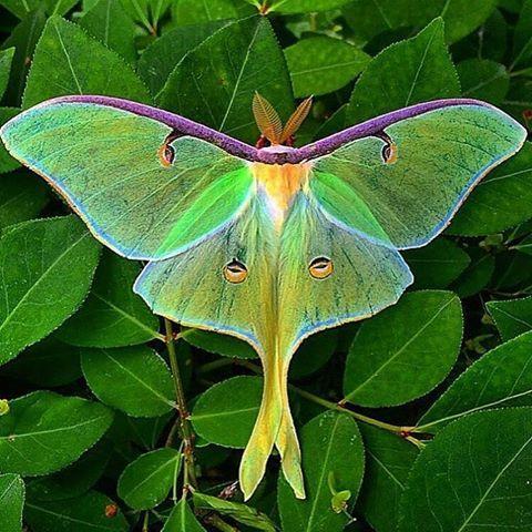Photo of Actias luna ist ein Schmetterling (Nachtfalter) aus der Familie der Pfauenspinne…