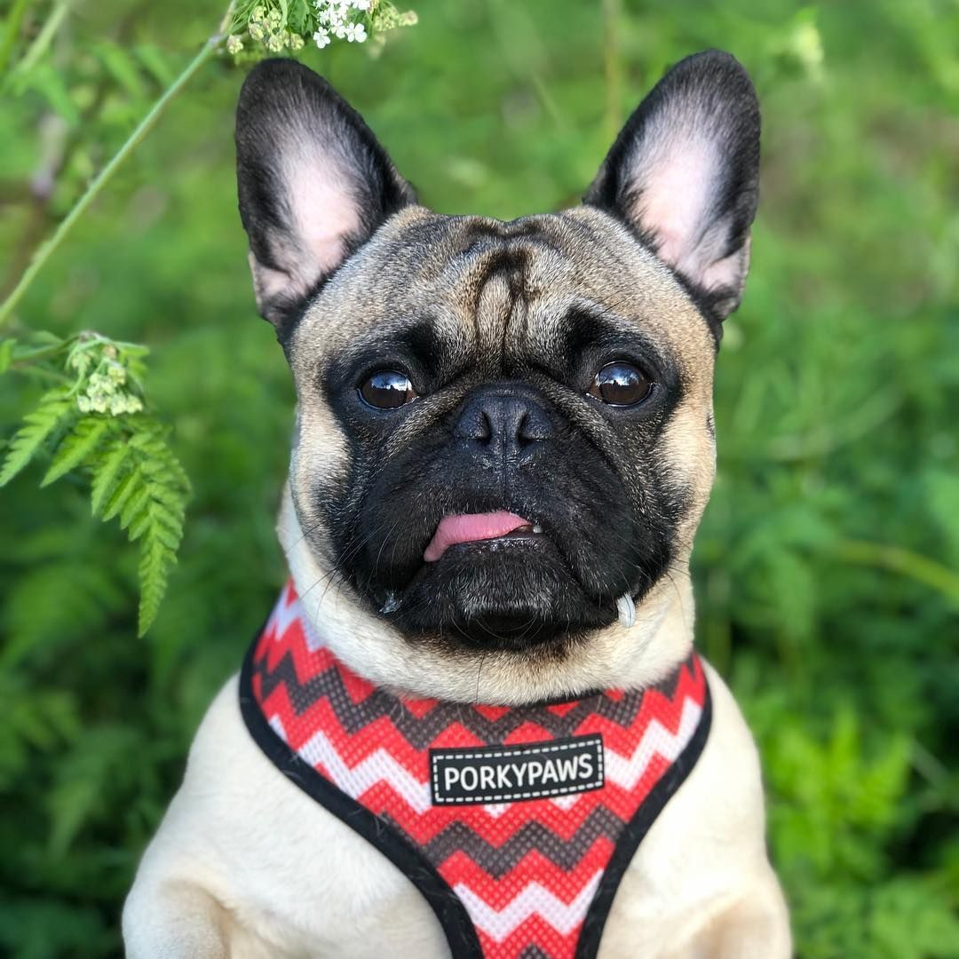 A Complete Guide To The French Bulldog Pug Mix Everything You Need To Know From Temperament To French Bulldog Pug Mix French Bulldog French Bulldog Harness