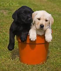 I Love Labs Labrador Puppy White Labrador Puppy Lab Puppies