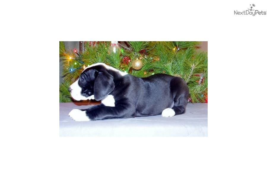 Akc Great Dane Puppies Full Registration Great Dane Puppy For