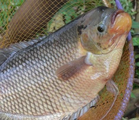 Peluang Usaha Ternak Gurame Analisa Usahanya Di 2020 Ikan Terpal Ikan Air Tawar