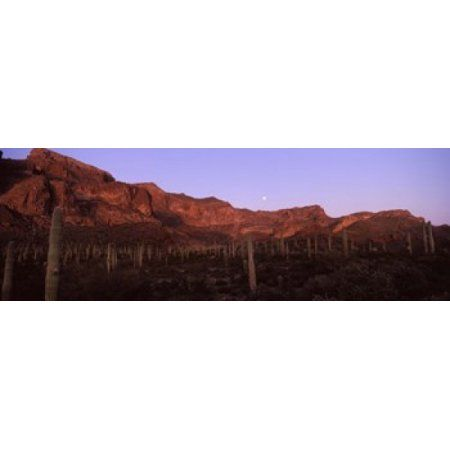 Cacti on a landscape Organ Pipe Cactus National Monument Arizona USA Canvas Art - Panoramic Images (36 x 13)