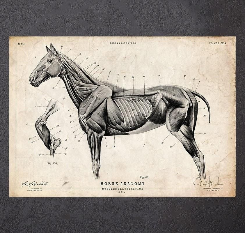 Horse muscles anatomy without labeled - www.anatomynote.com ...