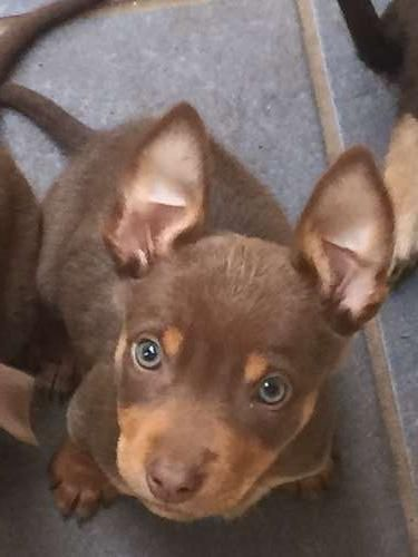 Pure Bred Kelpie Pups Top Bloodlines Temperament And Type