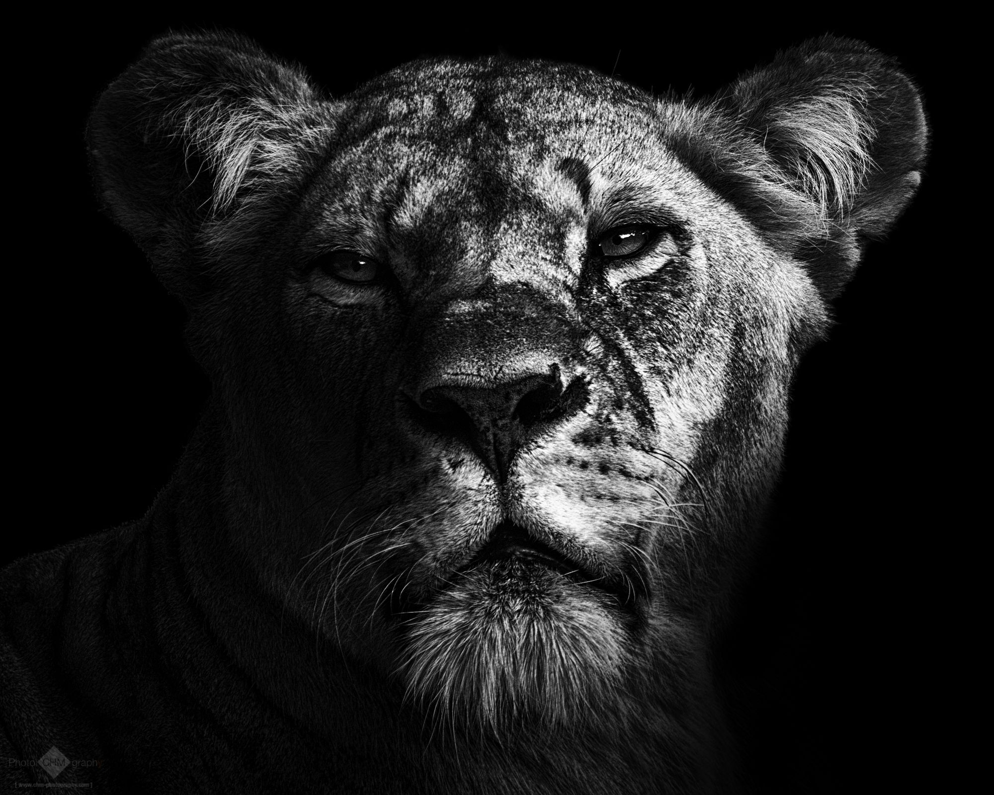 Lions - CHM-Photography